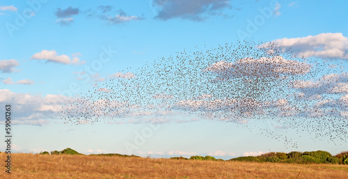 bird flock on a yellow meadow