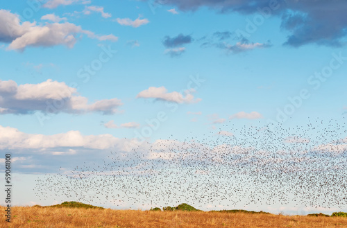 huge bird flock