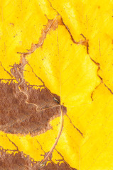 background of a beautiful autumn leaf