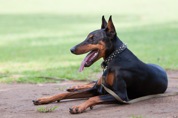 Doberman taking a rest on the ground