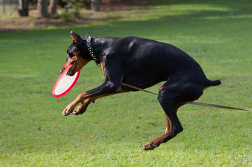 Doberman catching frisbee