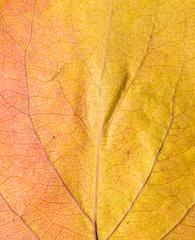 Background of autumn leaves. macro