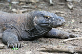Famous dragon lizard, Komodo Island (Indonesia)