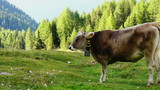 Grazing cow on mountain meadow, Val Gardena, Dolomites, Italy