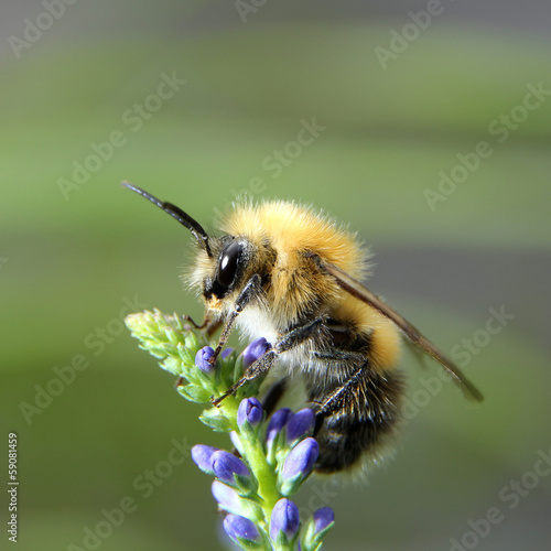 Shaggy bumblebee on a flower