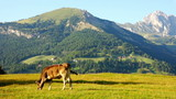 Cow grazing on meadow with Dolomites mountains in the background
