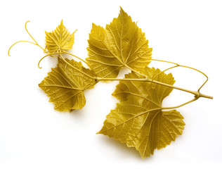 Grape branch with leaves and tendrils on white background. Dolma