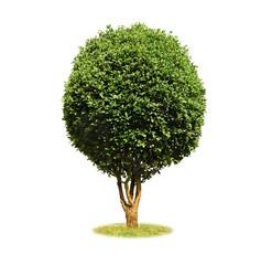 Freigestellter Buchsbaum