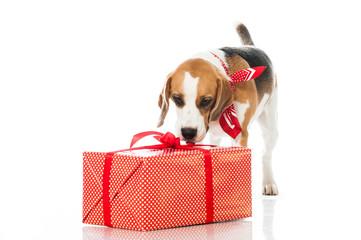 Hund schnüffelt an Geschenk