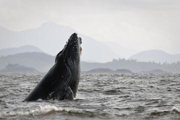 Humback whale (Megaptera novaeangliae) breaching.