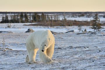 Polar bear walking on tundra.