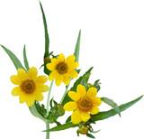 Nodding Bur-marigold Flower poster