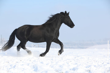 Beautiful friesian mare with flying mane running in the snow