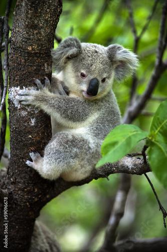 Fotobehang Koala Koala - Jungtier auf Magnetic Island in Australien