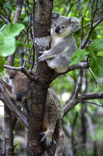 Aluminium Koala Koalabär mit Jungtier auf Magnetic Island in Australien