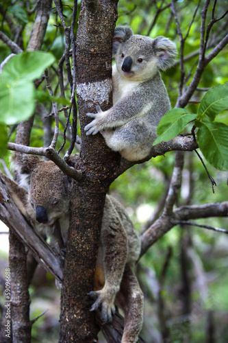 Tuinposter Koala Koalabär mit Jungtier auf Magnetic Island in Australien