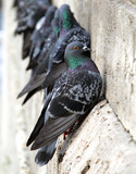 Pigeons on the building wall close-up