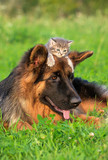 German shepherd dog with little kitten on his head