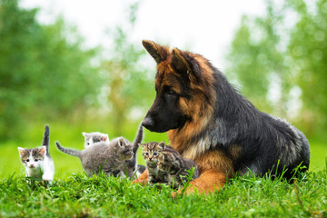 German shepherd dog and five little kittens
