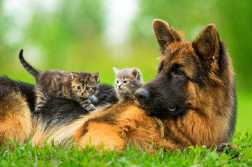 German shepherd dog with two little kittens