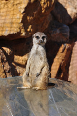 funny meerkat animal