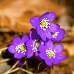 Flowering blue anemones growing in forest in spring.