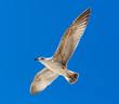 Seagull flying in a clear blue sky.