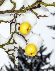 ripe apples are hanging on a branch