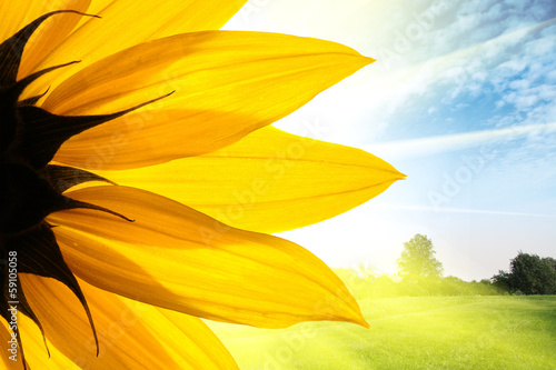 Poster Lente Sunflower flower over summer field landscape