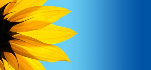 Sunflower closeup on blue background