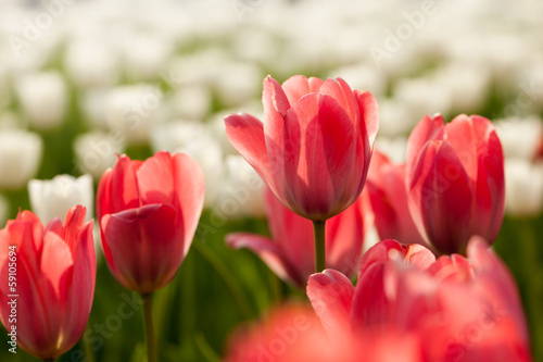 Red and white tulip flowers field