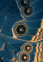 butterfly blue wing bottom side