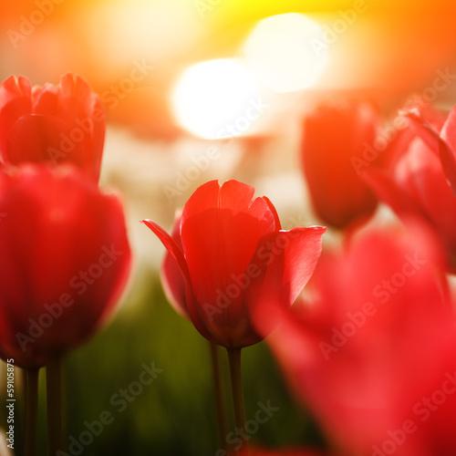 kwiaty-czerwone-tulipan