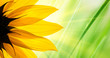 Sunflower over green grass background