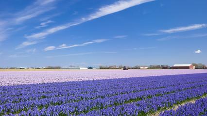 Blumenfelder bei Lisse nahe dem Keukenhof in Holland