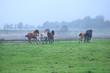 few galloping stallions on foggy pasture