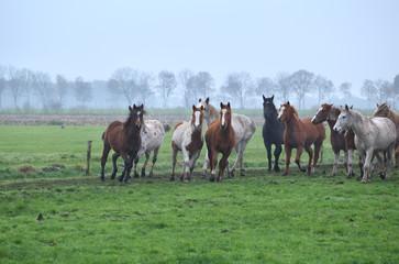herd of running horses on foggy pasture