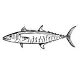 Hand Drawn Illustration of a Spanish Mackerel