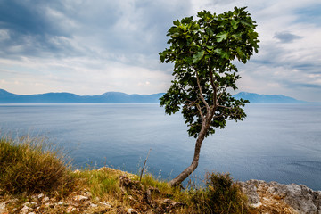 Lonely Tree and Adriatic Sea in Background, Dalmatia, Croatia