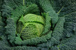 Full organic Curly green Cabbage close up