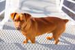 Brown dog climbing stais posing looking at camera