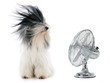 Leinwandbild Motiv tibetan terrier and fan