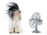 tibetan terrier and fan - 59118660