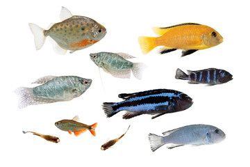 Set of different aquarium fishes isolated on white