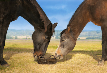 Two horses eat on field from bucket