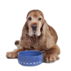 Cockerspaniel senior am Futternapf - senior spaniel food bowl