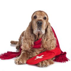 Kranker alter Cockerspaniel mit Wärmflasche - sick dog
