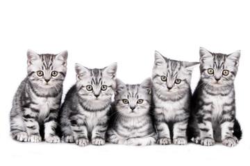 Fünf britisch Kurzhaar Kätzchen Gruppe - five kitten litter