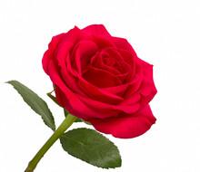 Ouvrir rose rouge avec des feuilles sur un fond blanc