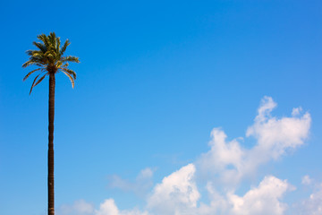palm tree Washingtonia California style on blue sky